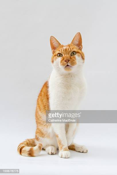 portrait of a ginger and white cat - catherine macbride stockfoto's en -beelden