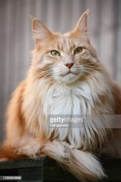 portrait of a ginger maine coon cat sitting on a terrace - maine coon cat stock pictures, royalty-free photos & images
