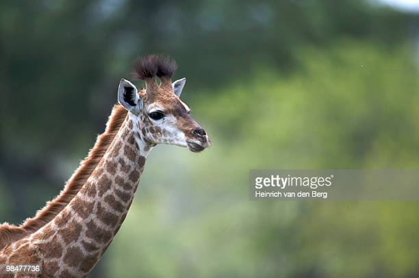 Portrait of a Giraffe Calf (Giraffa camelopardalis), Kruger National Park, Kruger National Park, Mpu