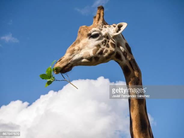 Portrait of a giraffe (Giraffa camelopardalis) eating a twig on the background of the blue sky with clouds.