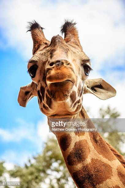 portrait of a giraffe - giraffe stock pictures, royalty-free photos & images