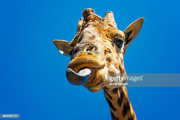 portrait of a giraffe sticking out its tongue - giraffe stock pictures, royalty-free photos & images