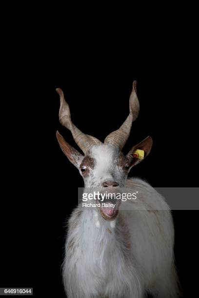 Portrait of a Girgentana goat.