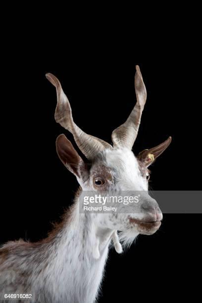 Portrait of a Girgentana goat.