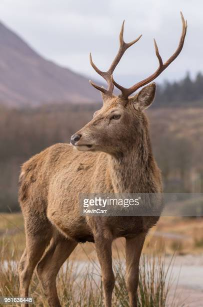 portrait of a glen etive stag, highland, scotland, uk - stag stock pictures, royalty-free photos & images