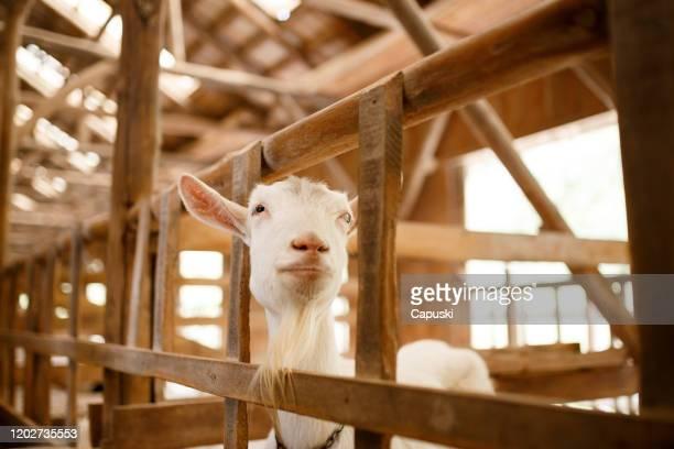 retrato de uma cabra em um celeiro - animal doméstico - fotografias e filmes do acervo