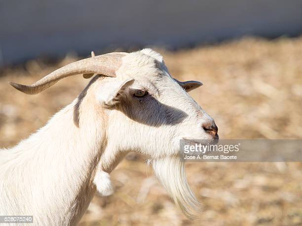 Portrait of a goat of white color with big horns and beard