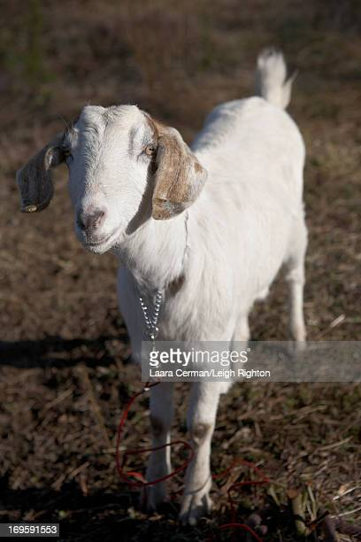Portrait of a goat.