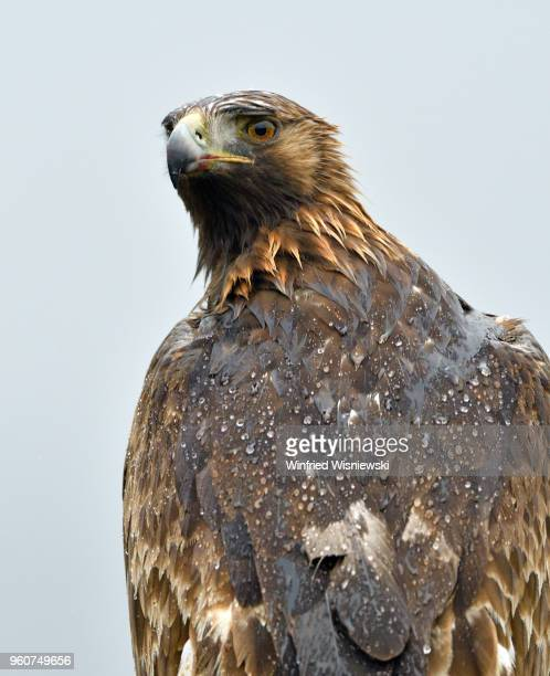 Portrait of a golden eagle in rain