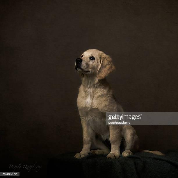 Portrait of a golden retriever dog, fine art style
