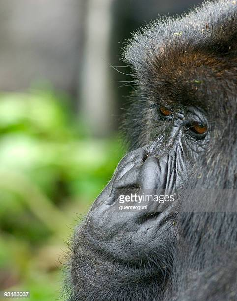 Portrait of a Gorilla in Rwanda (series)