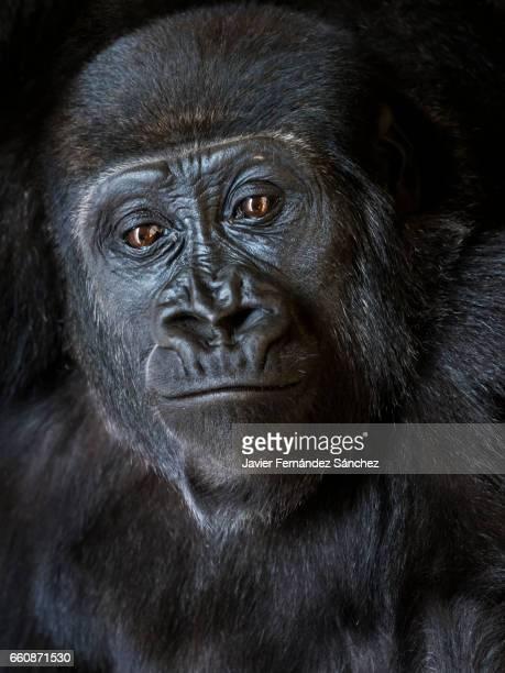 Portrait of a gorilla.
