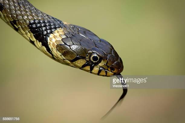 Portrait of a grass snake, Natrix Natrix, close-up