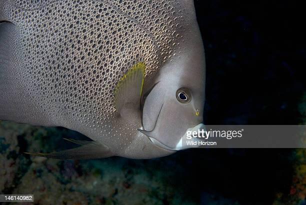 Portrait of a gray angelfish Pomacanthus arcuatus Curacao Netherlands Antilles