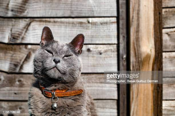 portrait of a gray cat - cat stock pictures, royalty-free photos & images