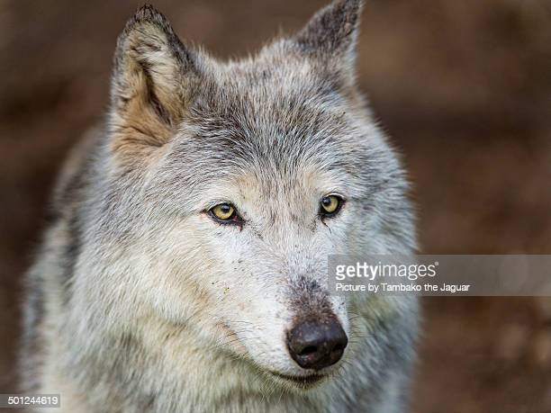 Portrait of a gray female wolf