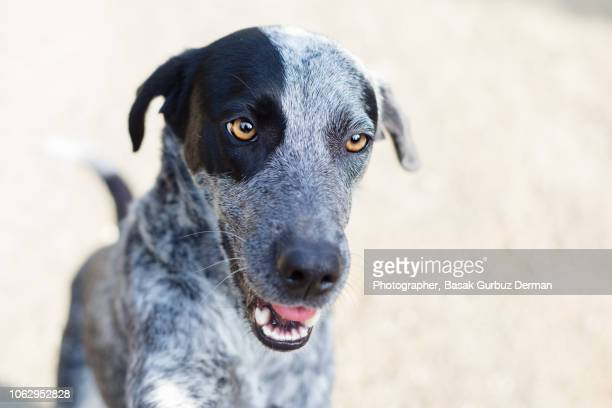 portrait of a gray pointer - basak gurbuz derman stock photos and pictures