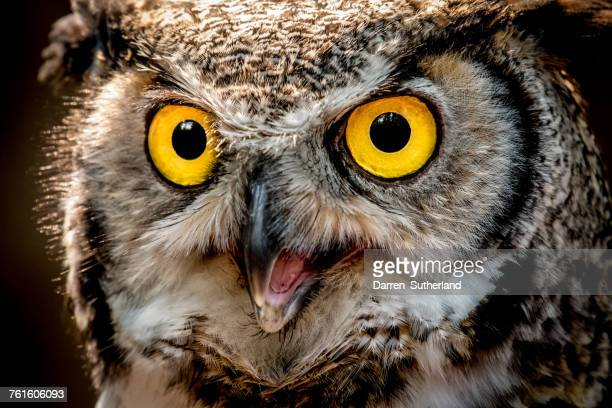 portrait of a great horned owl, british columbia, canada - great horned owl stock pictures, royalty-free photos & images
