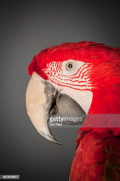 Portrait of a Scarlet Macaw's head.