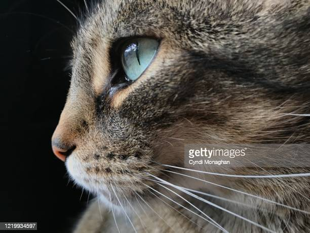 portrait of a green-eyed tabby cat - animal whisker stock pictures, royalty-free photos & images