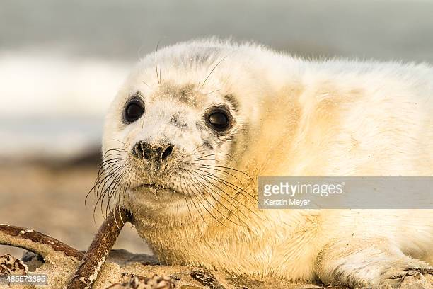 Portrait of a grey baby seal