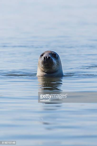Portrait of a grey seal