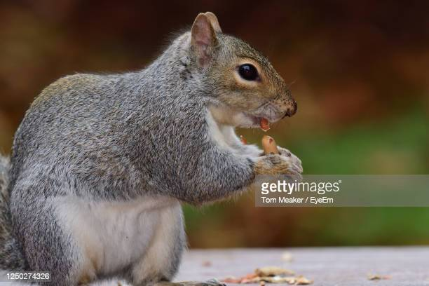 portrait of a grey squirrel eating a nut on a picnic table - taunton somerset stock pictures, royalty-free photos & images