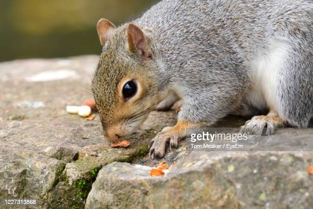 portrait of a grey squirrel eating nuts on a wall - taunton somerset stock pictures, royalty-free photos & images