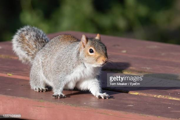 portrait of a grey squirrel on a picnic table in the park. - taunton somerset stock pictures, royalty-free photos & images