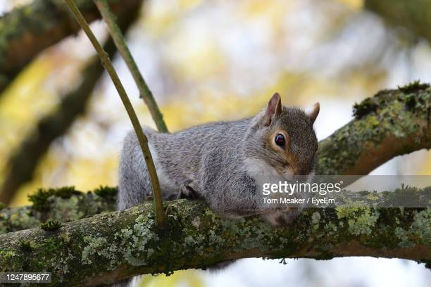 portrait of a grey squirrel sitting on a branch while eating a nut - taunton somerset stock pictures, royalty-free photos & images