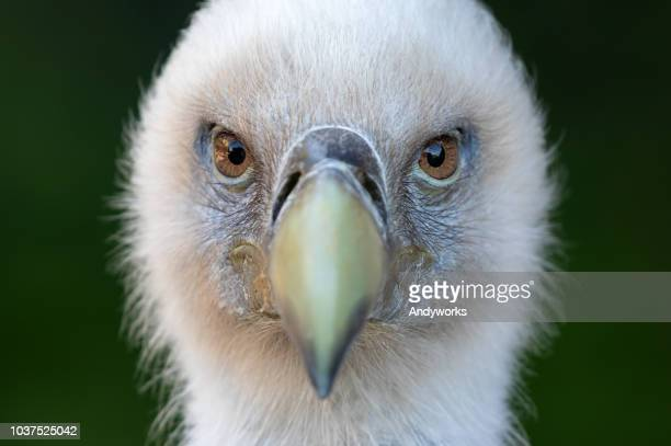portrait of a griffon vulture (gyps fulvus) - carnivora stock photos and pictures