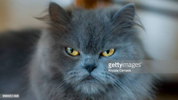 Portrait of a Grumpy Persian Cat