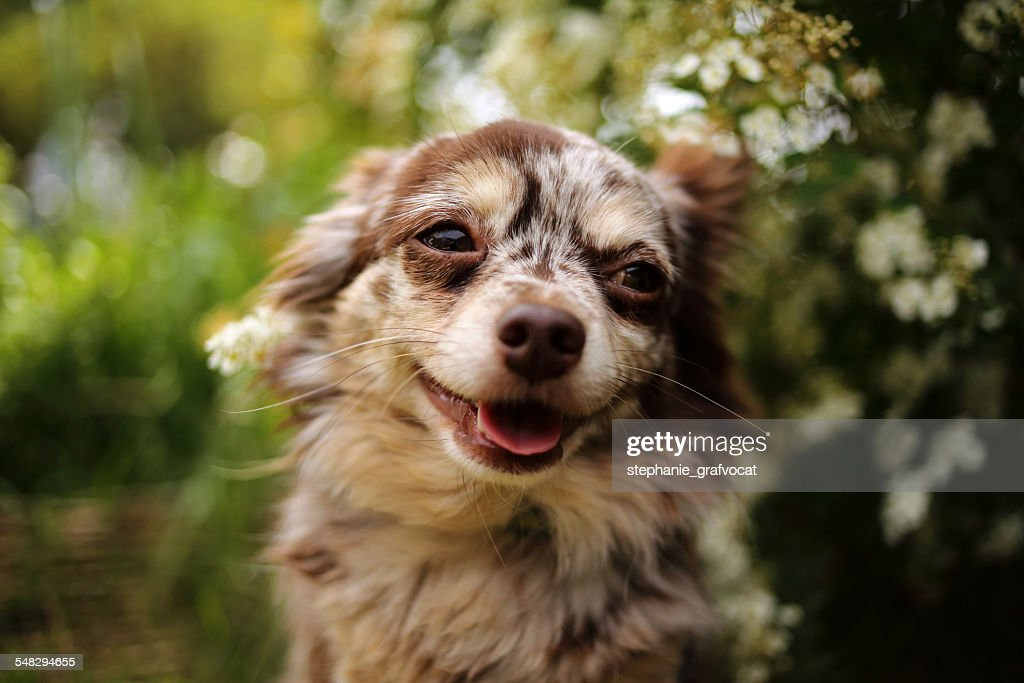 Portrait of a happy chihuahua dog : Stock Photo