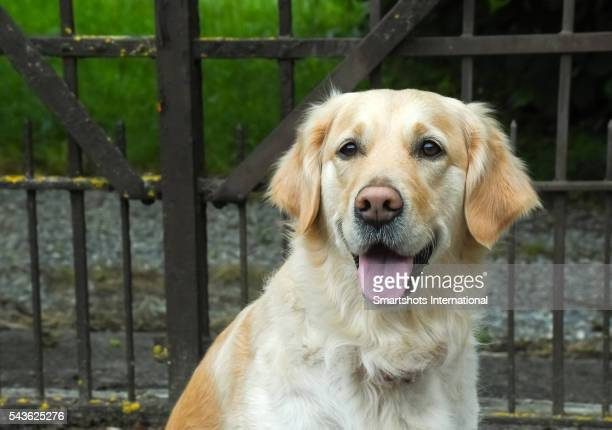 Portrait of a happy female Golden Retriever looking at camera