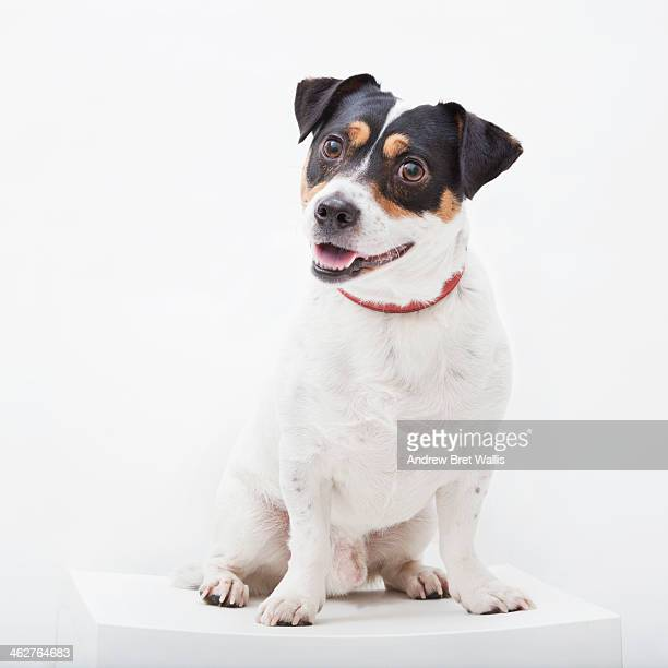 Portrait of a happy Jack Russell dog