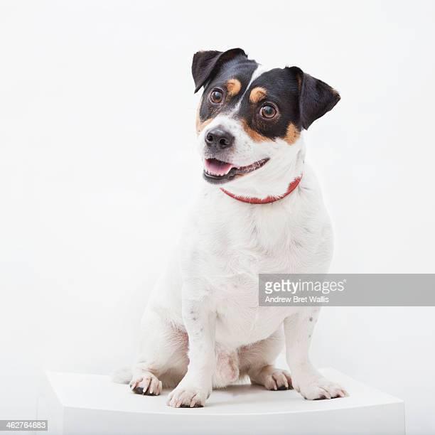 portrait of a happy jack russell dog - jack russell terrier - fotografias e filmes do acervo