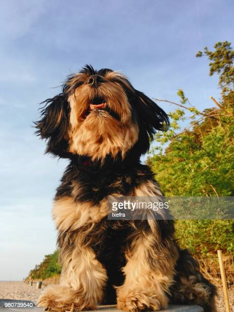Portrait of a Havanese dog