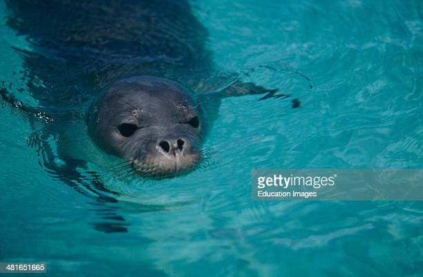 Portrait of a Hawaiian monk seal, Monachus schauinslandi, About 60 Hawaiian monk seals live in the Midway Atoll in the Northwest of the archipelago...