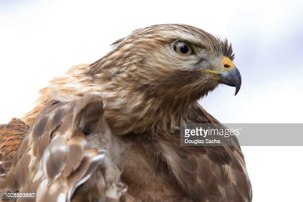 portrait of a hawk in the wild (accipiter striatus) - hawk nest stock photos and pictures