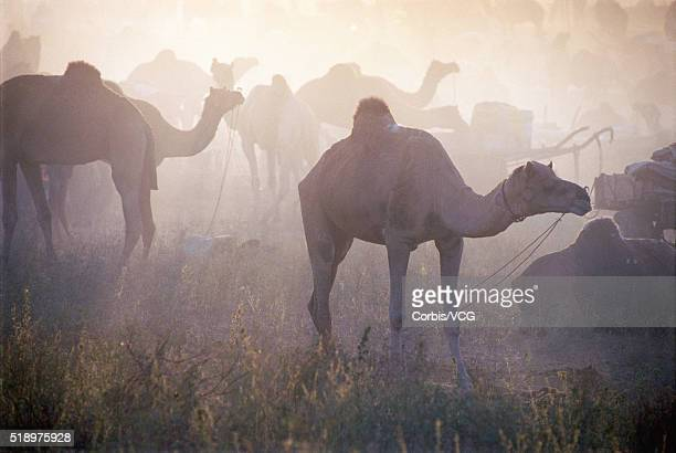 portrait of a herd of camels, (camelus dromedarius), in hazy light - vcg stock pictures, royalty-free photos & images