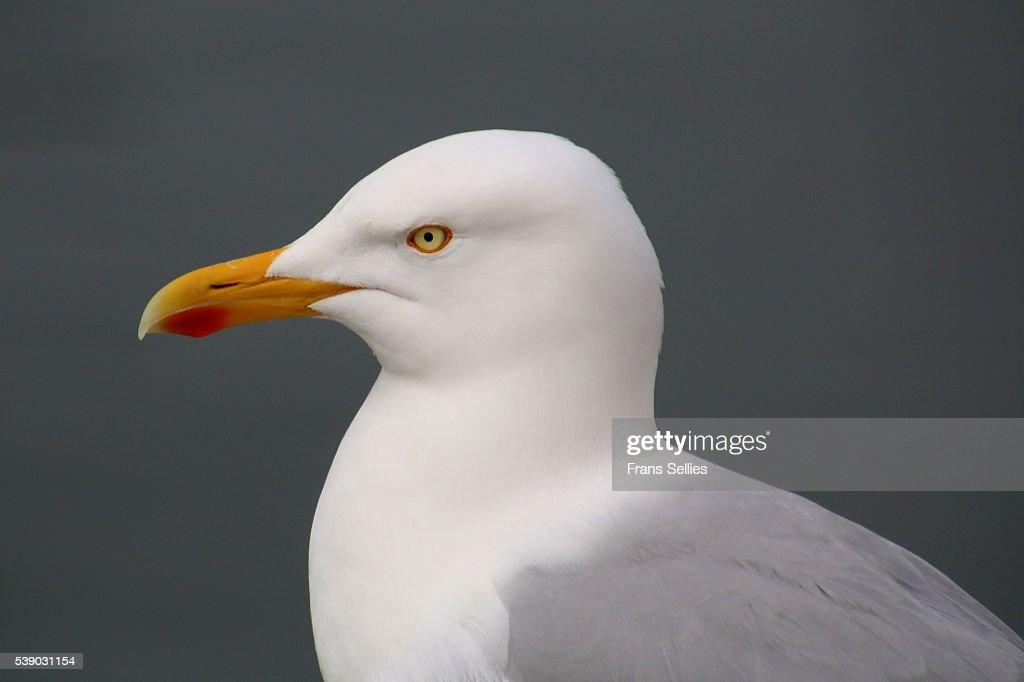 Portrait of a herring gull (Larus argentatus) : Stockfoto