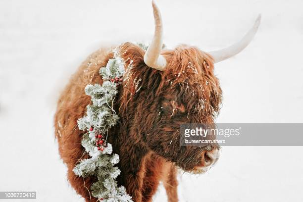 portrait of a highland cow in the snow wearing a christmas wreath, british columbia, canada - country christmas stockfoto's en -beelden