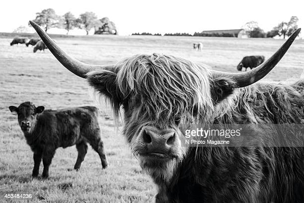 Portrait of a Highland cow photographed in a pasture on May 19 2013