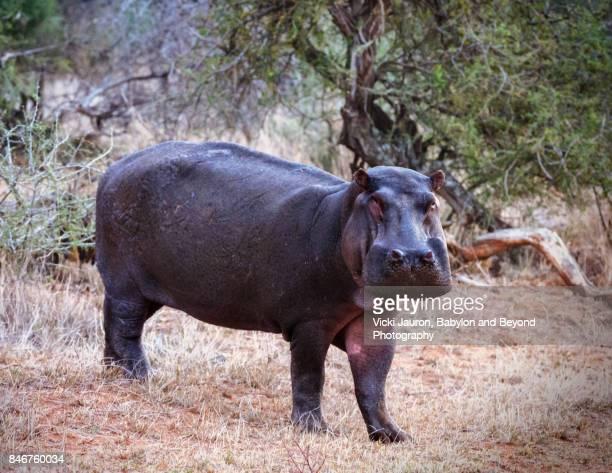 Portrait of a Hippopotamus in Laikipia Province