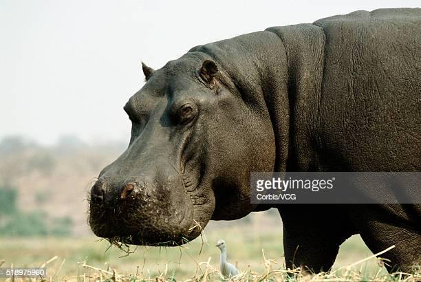 Portrait of a Hippopotamus, (Hippopotamus amphibius)