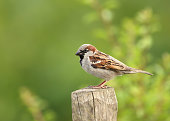 Portrait of a house sparrow perched on a post