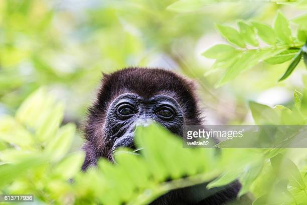 portrait of a howler monkey - guanacaste stock pictures, royalty-free photos & images