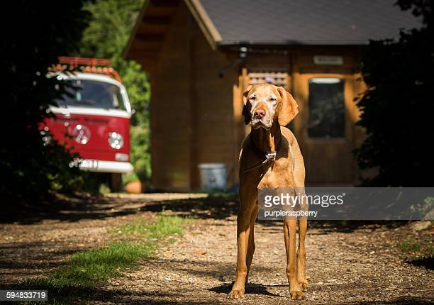 Portrait of a Hungarian Vizsla dog standing in a driveway
