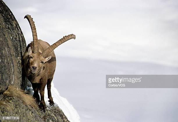 Portrait of a Ibex, (Capra ibex), traversing a steep wall