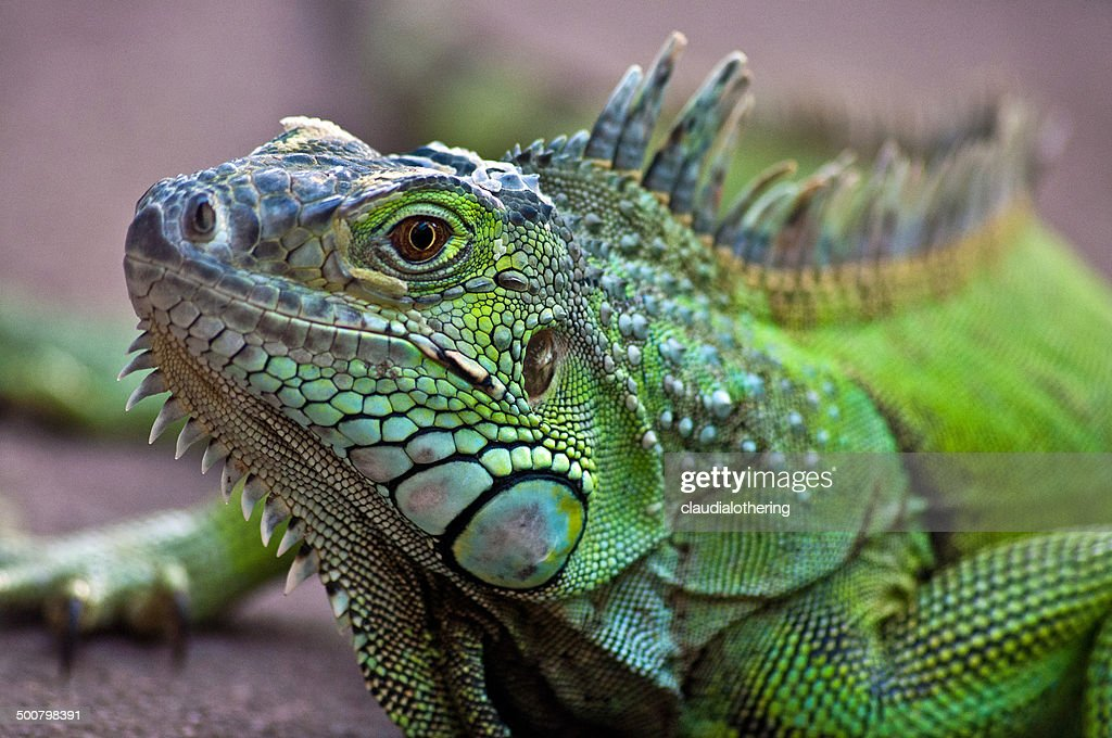 Portrait Of A Iguana Lizard Western Cape South Africa High ...